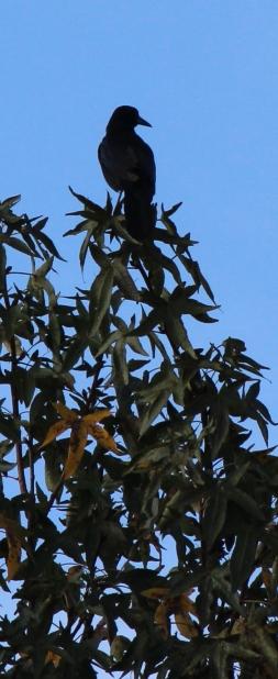 crow IMG_1821