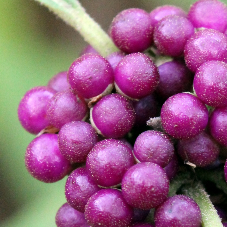 berries IMG_1981