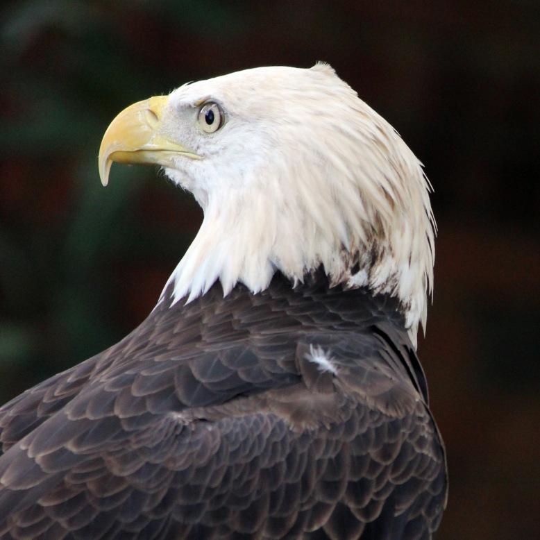 Eagle IMG_2279