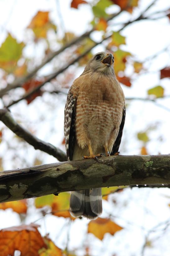 Hawk IMG_3544