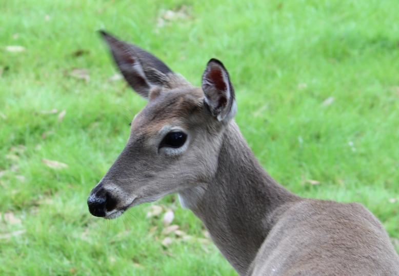 Deer IMG_6942