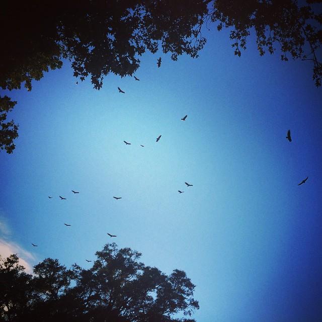 soaring vultures